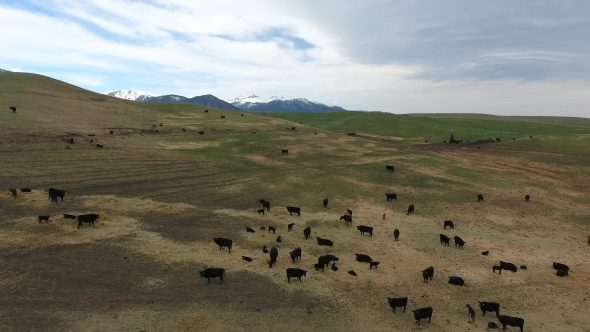 Aerial Drone Footage of Cows in Montana Open Field Royalty Free Stock Drone Video Footage