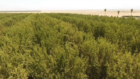 Aerial Drone Footage of Slow Pan Over Tops of Fruit Trees on Edge of Desert Royalty Free Stock Drone Video Footage