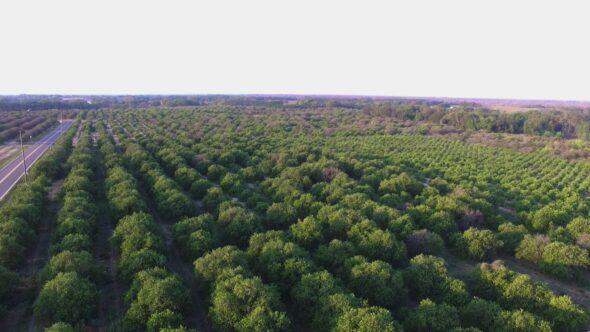 Orange Grove #2 Royalty Free Stock Drone Video Footage