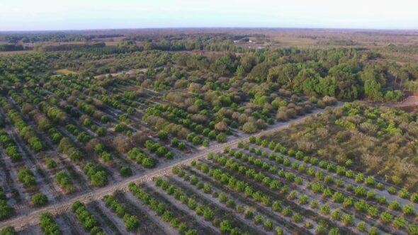 Orange Grove #1 Royalty Free Stock Drone Video Footage