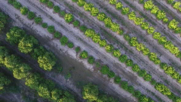 Orange Grove #3 Royalty Free Stock Drone Video Footage