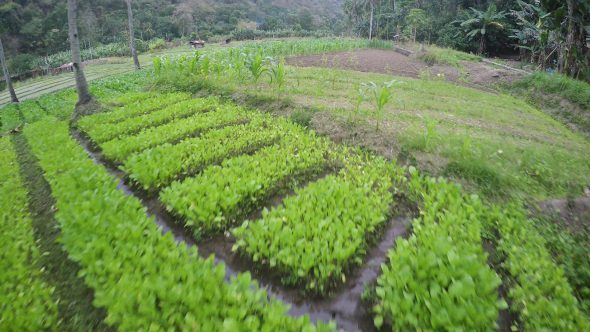 Flores Indonesia Farm 2