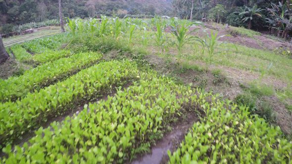 Flores Indonesia Farm 3 Royalty Free Stock Drone Video Footage